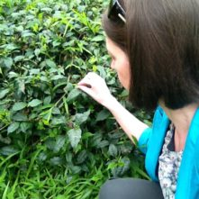 Erica picking wild tea