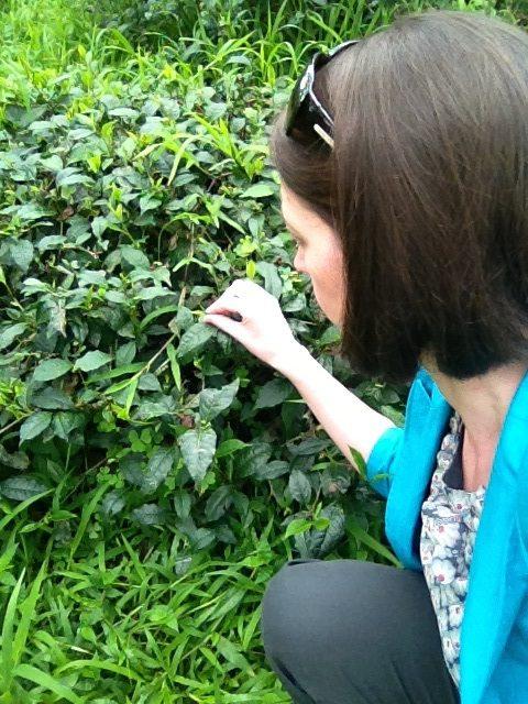 Erica picking wild tea